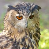 Eagle-Eule auf der Uhr Lizenzfreies Stockbild