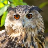 Eagle-Eulen-Stirnseite Lizenzfreie Stockbilder