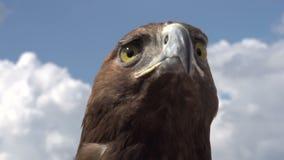 Eagle Examines Area dorato video d archivio