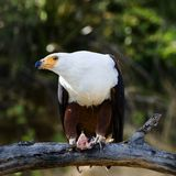 Eagle with extraction. The African Fish Eagle (Haliaeetus vocifer) or�to distinguish it from the true fish eagles (Ichthyophaga), the African Sea Eagle�is a Stock Photography