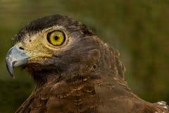 Eagle Eye Immagini Stock Libere da Diritti