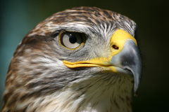 Eagle eye. Eagle looking in the eye Stock Photo