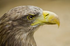 Eagle Eye Stock Photo