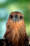 Eagle eye. Photographed on the island of sea turtles Stock Photos