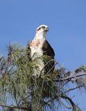 An eagle eye. An osprey keeps an eagle eye on the beach below his perch Royalty Free Stock Photo