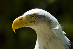 Eagle eye Royalty Free Stock Images