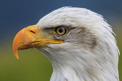 Eagle Eye Fotografie Stock