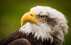 Eagle Eye Fotografie Stock Libere da Diritti