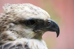 Eagle Eye Immagini Stock