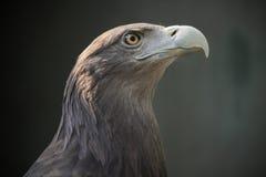 Eagle Eye Fotografia Stock