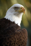 Eagle Eye. Closeup of a Bald Eagle against a blurred background Royalty Free Stock Photography