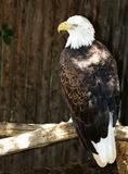 Eagle Eye. A very firm look this Eagle is giving you.  Beautiful head.  An American Icon Stock Photography