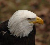 Eagle Eye Royaltyfri Bild