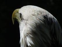 Eagle Eye Royaltyfri Fotografi