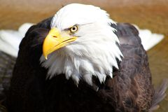 Eagle Eye Royalty Free Stock Photography