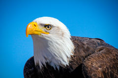 Eagle Eye stock photography