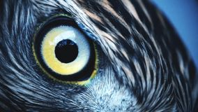 Eagle Eye Close Up Macro Eye Of Young Goshawk Accipiter Gentilis Toned Stock Footage Video Of Head Discovery 144639122