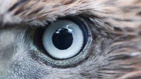 Eagle eye close-up, macro, eye of young Goshawk Accipiter gentilis stock video