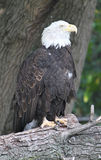 An Eagle Eye on life. Endangered Bald Eagle resting on a fallen tree Royalty Free Stock Photo