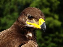 Eagle Eye. Eagle living in Kadzidlowo, Poland stock image