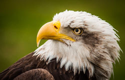 Eagle  eye Royalty Free Stock Photos
