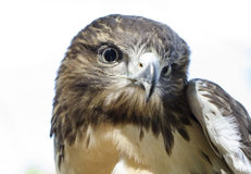 Eagle Eye, Red Tailed Hawk profile Royalty Free Stock Photo