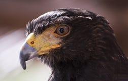 Eagle Eye Royalty Free Stock Images