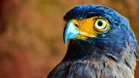 Eagle Eye View bij Taman-Safari royalty-vrije stock afbeelding