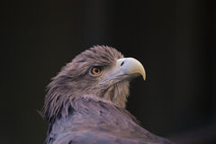 Eagle Eyes Imagen de archivo libre de regalías