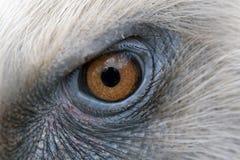 Eagle eyes closeup, eyes of a Griffon vulture Stock Photos