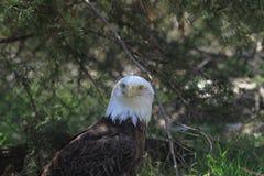 Eagle Eyes sind nach Ihnen Lizenzfreie Stockfotos