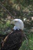 Eagle Eyes sind nach Ihnen Stockbilder
