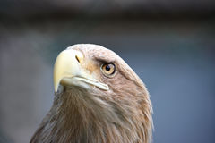 Eagle face Stock Images
