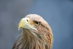 Eagle face Stock Photography