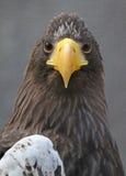 Eagle Face Fotos de archivo libres de regalías