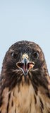 Eagle face on about to bite you! Royalty Free Stock Image