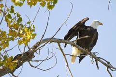 Eagle fala Zdjęcie Stock