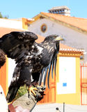 Eagle upon falconer's glove in Portugal royalty free stock images