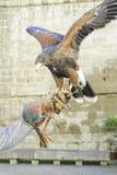 Eagle Falconry imágenes de archivo libres de regalías