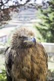 Eagle falconry Stock Photos