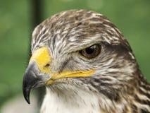 Eagle falconry exhibition Stock Photos