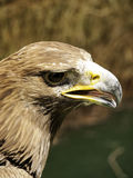 Eagle falconry exhibition Royalty Free Stock Images