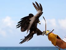 Eagle falconry, raptor hunting training in Mexico royalty free stock photo
