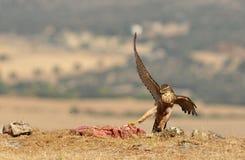 Eagle-Falke wirft mit Lebensmittel auf dem Gebiet auf Stockfotografie
