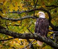 Eagle In Fall Oak Tree Closer Fall Colors Loking Majestic royalty free stock photos
