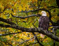 Eagle In Fall Oak Tree-Fall färbt Loking majestätisch lizenzfreies stockbild