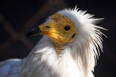 Eagle family Royalty Free Stock Image
