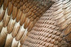 Eagle Feathers Royalty Free Stock Photos