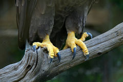 Eagle feet Stock Photography
