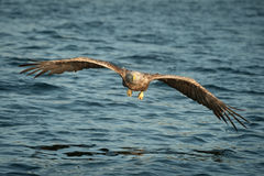 Eagle. A female White-tailed eagles flies low to the water and directly at the camera Royalty Free Stock Photography